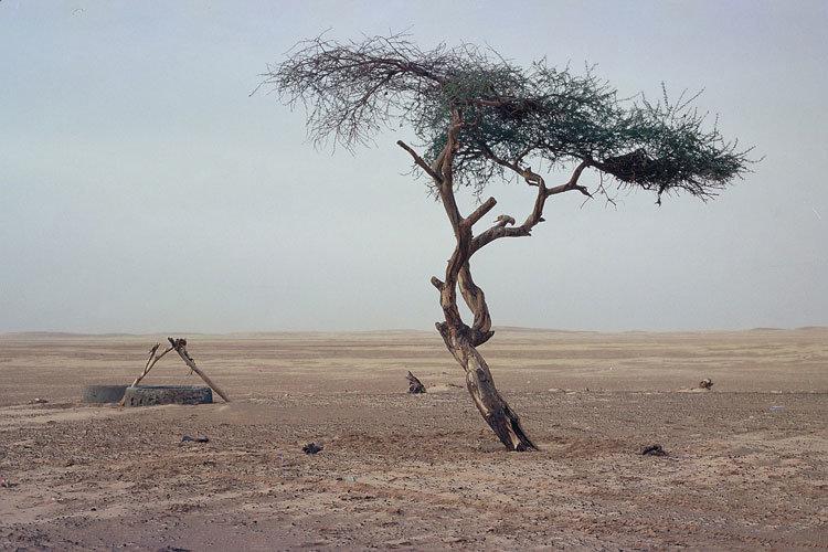 La historia del árbol más solitario y aislado de la Tierra: el árbol del Ténéré